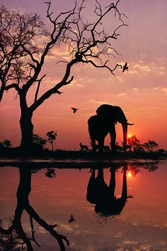 African elephant at dawn in Chobe National Park, Botswana photographed by Frans Lanting