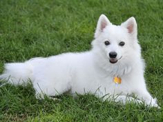 This guide contains American Eskimo dog breed information and photos. These beautiful dogs, originally known as the American Spitz, make wonderful companions. Miniature American Eskimo, American Eskimo Puppy, Chien Basset, Cute Puppies, Dogs And Puppies, Doggies, Big Dogs, Different Types Of Dogs, Akc Breeds