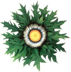 """""""Eguzki-lore"""", an ancestral basque symbol and a magical plant that people used to put on the entry door to get protección against the evil."""
