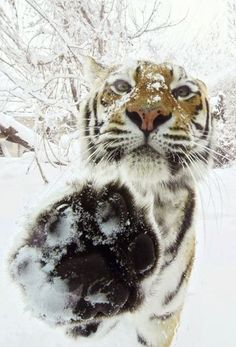 high five Me Deito, Big Cats, Great Shots, Amazing Hair, Beauty Style, Vscocam, Tigers, Planets, Swag