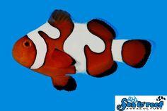 DaVinci Clownfish Grade B Clownfish, Tigger, Aquarium, Disney Characters, Fictional Characters, Goldfish Bowl, Aquarium Fish Tank, Aquarius, Fantasy Characters