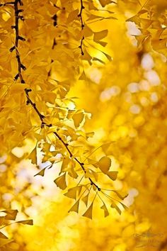 Golden Ginko Leaves Light And Shadow, Autumn Leaves, Seasons, Lights, Nature, Marigold, Clarity, Darkness, Mustard