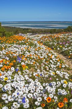 Colorful Flowers, Cape West Coast, South Africa - After heavy rains in the winter, the fields are covered in colorful wild flowers