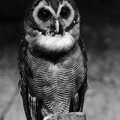 #Owl #Photography #Black #White