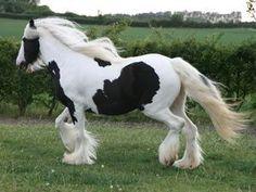 Black and White horses | Super black and white horse for adoption, at debora's moblog