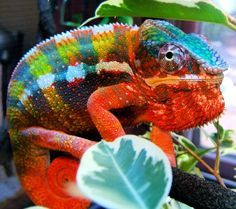 Male Panther chameleon - Reptile Forums