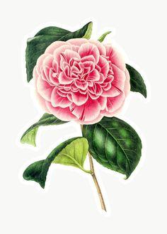 Bloom Blossom, Cute Emoji, Vintage Drawing, Japanese Flowers, Free Illustrations, Tropical Flowers, Camellia, Botanical Illustration, Floral Watercolor