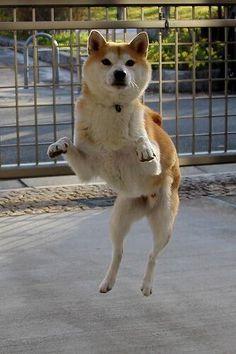 dancing Shibainu