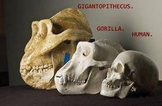 gigantopithecus | Gigantophitecus: el primate más grande que jamás existió - cinabrio ...