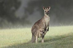 Cuando las crías de canguro se asustan, ¡se tiran de cabeza dentro del marsupio de su madre!