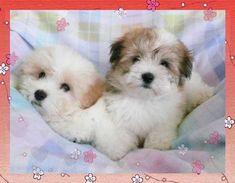 Absolutely Adorable Coton Puppies ~ Happy Hearts Coton de Tulear ~