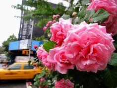 Roses. roses. roses!!!