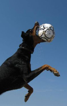who knew dobermans could be such great soccer players..lol