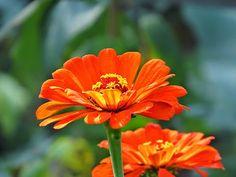 -neuer Gartentraum-: Zinnien