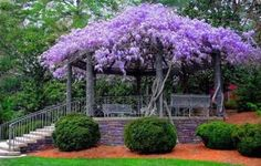 Wisteria explosion at the gazebo , isn't this amazing ! Put the wisteria I'm growing. on an outdoor room in west yard! Wisteria Tree, Purple Wisteria, Wisteria Trellis, Wisteria Pergola, Wisteria Garden, Purple Flowers, Chinese Wisteria, Flora Flowers, Pretty Flowers