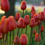 Upcoming events listed by day for all our unique Tulip Time happenings! *Denotes multiple day event.