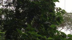 O Vôo do Jacu. Tigera, Juiz de Fora, Minas Gerais, Brasil. IMG_3852. 81...