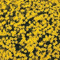 LIN VIVACE LIN VIVACE-FLAVUM COMPACTUM (Linum flavum compactum)-jaune d'or…