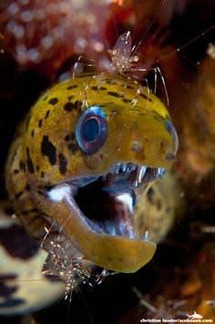 Fimbriated Moray Eel + 2 Cleaner Shrimp, Lembeh Strait, Indonesia