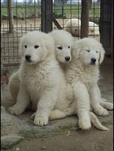its ok baby just forget it. Baby Puppies, Cute Puppies, Cute Dogs, Dogs And Puppies, Doggies, Pyrenees Puppies, Great Pyrenees Puppy, Guard Dog Breeds, Hachiko