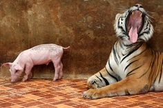 A tiger and a pig