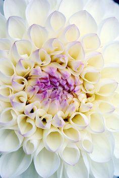 Deze dahlia Snow Garden heeft een mooi violet hart in een witte omlijsting. Hij heeft wel iets weg van het zevende chakra Sahashara, wat duizendvoudig betekent. Maar de bloem die eigenlijk bij het zevende chakra hoort is de duizendbladige lotus.