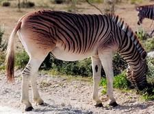 Different shade of zebra seen in Namibia – brownish zebras with hardly any stripes on their legs and rump - photo from Cynthie Fisher / FisherArt   ...Unfortunately, this woman has her sites on killing zebras to mount their heads or or make rugs of their skins...