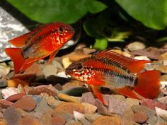 Pair of Apistogramma macmasteri (Dwarf Cichlid). Offering a pair (male and female) of Apistogramma macmasteri - approx 3 . Betta Aquarium, Live Aquarium Fish, Freshwater Aquarium Fish, Betta Fish, Colorful Fish, Tropical Fish, Red Cherry Shrimp, South American Cichlids, Red Mask