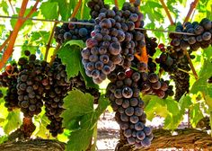 Aglianico, Mettler Family Estate Vineyards, Lodi AVA. Photography by Randy Caparoso. #Lodi #wine #grapes #MettlerFamilyVineyards #winetasting