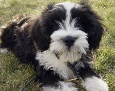 Norman the Tibetan Terrier