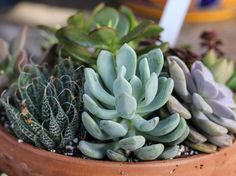 Succulent care couldn't be much easier, which makes these hardy members of the cactus family good for both indoor and outdoor gardens. Echeveria, Sempervivum, Cool Plants, Cactus Plants, Succulent Plants, Yucca, Plantas Indoor, Indoor Plants Low Light, Starting A Garden