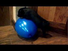 Mini Pig Vs Balloon