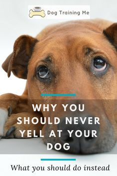 Dogs Never yell at your dog. We take a look at some very good reasons why you shouldn't yell at your dog. We also give you some suggestions on what you can do instead of yelling to get through to your dog. Check out our article now. Rhodesian Ridgeback Puppies, Stop Dog Barking, Dog Health Care, Dog Care Tips, Pet Care, Healthy Pets, Dog Training Tips, Dog Gifts, Dog Friends