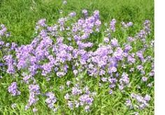 Dames Rocket Flower Seeds - 4,300 Flower Seeds in Each Packet with Freee Shipping by Cheap Seeds. $2.62. 4,300 Dames Rocket Seeds In Each Packet. Looks Great When Planted In Mass. Ships In 24 Hours or Less. Free Shipping On All Orders. Smellls Great. DAMES ROCKET IS A PERENNIAL WITH LILAC-PUPLE FLOWERS. GIVES OFF A WONDERFUL AROMA IN THE EVENING. PREFERS FULL SUN TO PARTIAL SHADE. I PLANT MINE ON THE EDGE OF THE WOODS AROUND OUR HOUSE. LOOKS VERY NICE. CANNOT BE ...