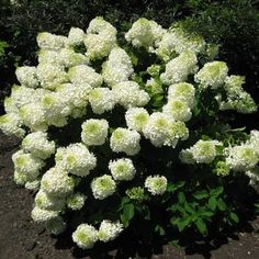 Silver Dollar Hydrangea has small but mighty blooms with full-sized flowers in a more compact form than you'd expect from a hydrangea. The big green leaves fill out in the spring and early summer. Then in mid-summer through fall Silver Dollar covers itself in dense trusses of lacy, creamy-white blooms held upright on strong stems. The whole effect is romantic and nostalgic. #garden #spring #gardenchat #trees #flowers #gardening #plants