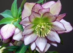Lenten Rose, Helleborus.  This is a double pink variety.  They bloom in late winter-early spring, and like summer shaded woodsy locations for their evergreen foliage.