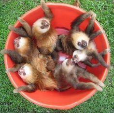Bucket of baby sloths