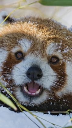 red panda :D Cute Baby Animals, Animals And Pets, Funny Animals, Beautiful Creatures, Animals Beautiful, Red Panda Cute, Grand Chat, Panda Wallpapers, Funny Animal Pictures