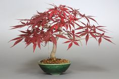 www.e-bonsai.org