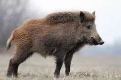 Animals Of The World, Animals And Pets, Cute Animals, Reptiles, Mammals, Boar Hunting, Animal Help, Wild Boar, Animal Totems