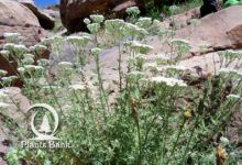 Photo of Achillea ligustica Types Of Soil, Types Of Plants, Achillea, Rustic Stone, Plant Therapy, Medicinal Plants, Evergreen, Perennials, Woodland