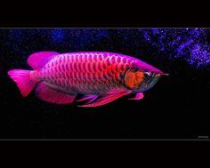 Gallery-Srisena Arowana Fish Farm-Super Red Arowana For Sale Dragon Fish, Freshwater Aquarium Fish, Fish Farming, Water Life, Beautiful Fish, Exotic Fish, Cichlids, Fish Tank, Betta