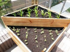Water Spinach and kale in Wooden planter