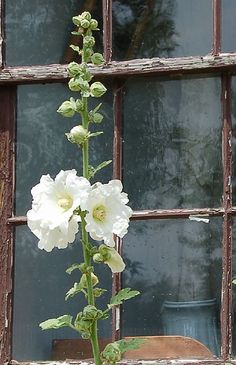White hollyhock with old wooden window