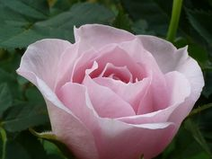 P1120317  Bella come una mamma by Daniela Maffioli, via Flickr | #flowers #rose #pink #green