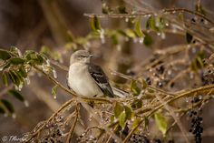 This Northern Mockingbird fiercely defended his icy throne during this first snow storm of the winter of 2015. Taken in the Landstown area of Virginia Beach.