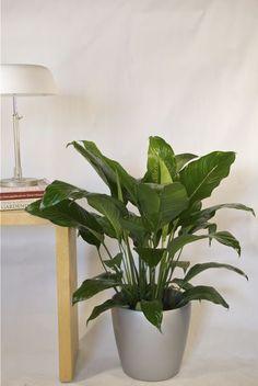 Spathyphilum or Closet plant from Houston Interior Plants