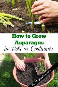 How to Grow Asparagus in a Pot How to Grow Asparagus in a Pot jiro khrystyna jirokhrystyna Urban gardening City Container gardening vegetables Growing asparagus Asparagus garden […] indoor vegetables Container Gardening Vegetables, Planting Vegetables, Growing Vegetables In Containers, Planting Garlic, Succulent Containers, Succulent Planters, Container Flowers, Container Plants, Succulents Garden