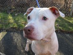 182 Holly Berry is an adoptable Pit Bull Terrier Dog in New Britain, CT. **FOUND** Found in the area of Belden Street on 12-14. Available for Adoption After 7 Days from Date of Ad Publication / Impoun...