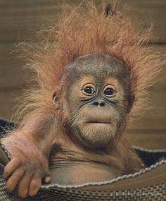 This little orangutan is as cute as can be. ❤